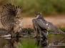 Badende roofvogels