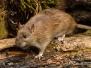 Bruine rat