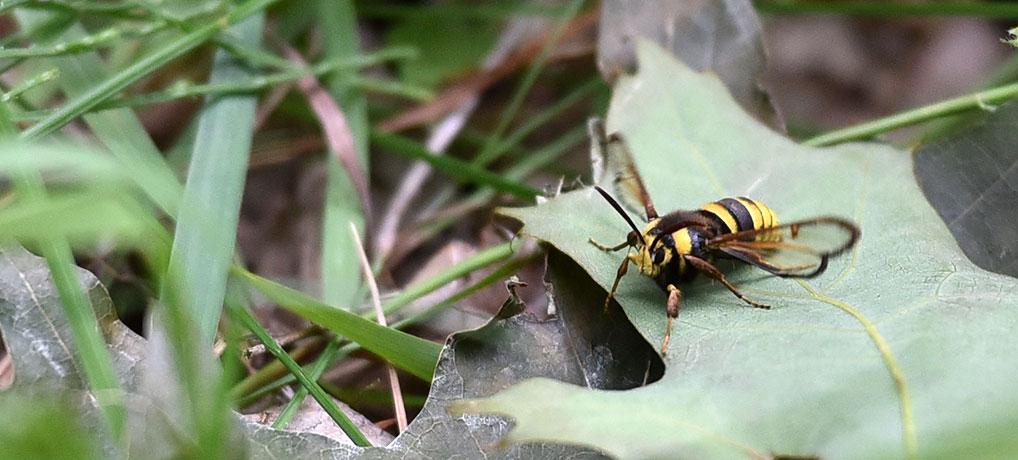 Hoornaarvlinder