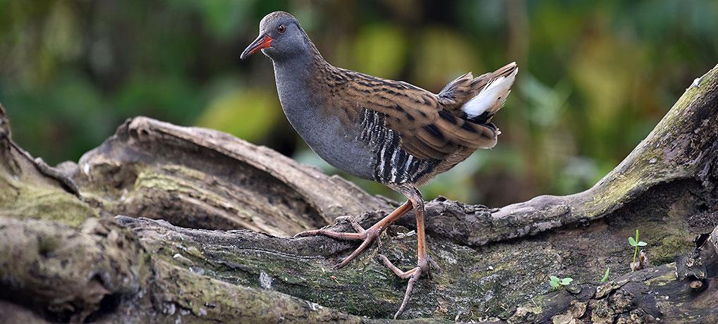 Moeras- en watervogels