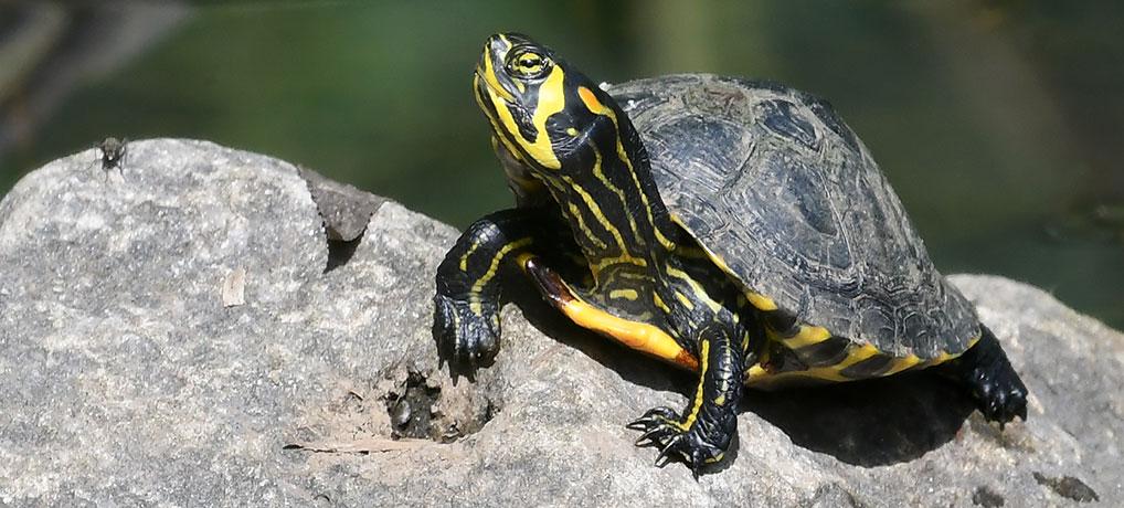 Geelwangschildpad