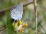 Dwergblauwtje