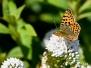 Kleine parelmoervlinder